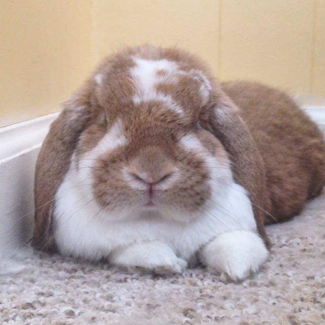 Her indifferent face. #bunny #cute