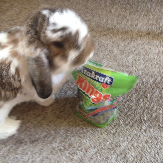 Blurry bunny trying to steal treats. #bunny #cute