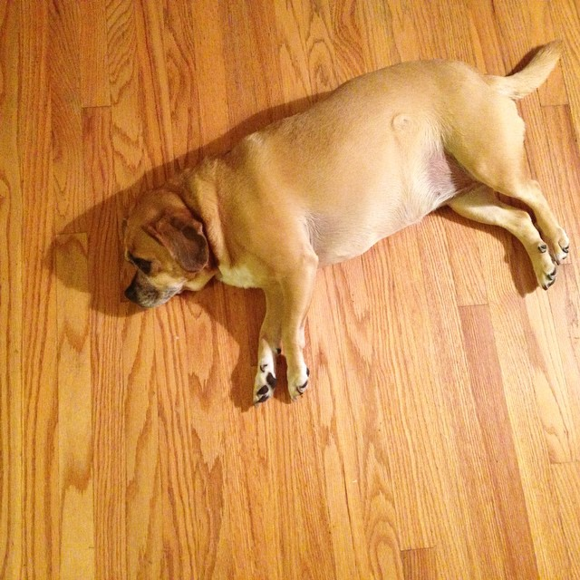 She blends.  #pug #puggle @pugsofinstagram