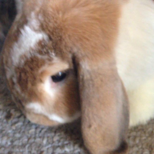 Looking for treats. #bunniesofinstagram #bunny #cute