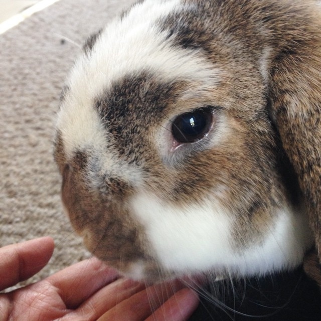 I can't say no to this face. #bunny #bunniesofinstagram #cute