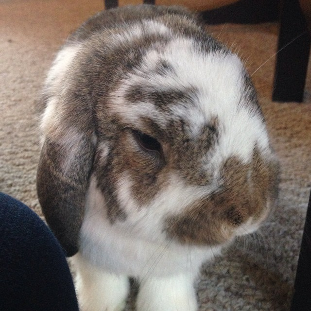 Carter #bunny #bunniesofinstagram #cute