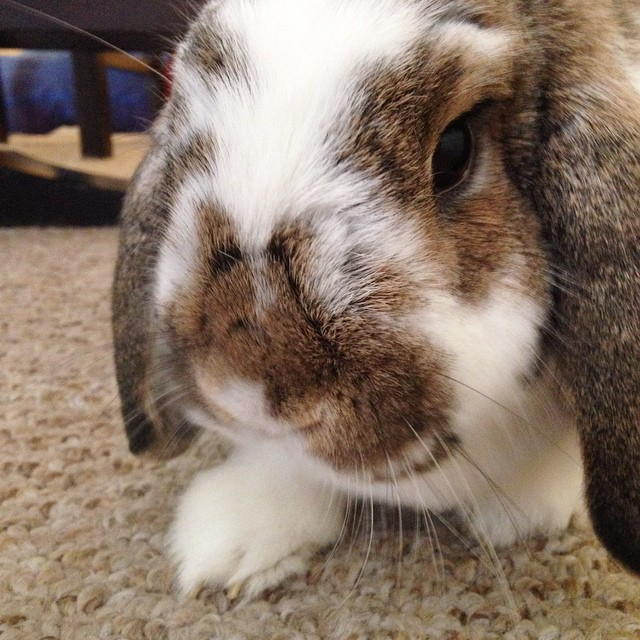Carter face! #bunny #bunniesofinstagram #cute