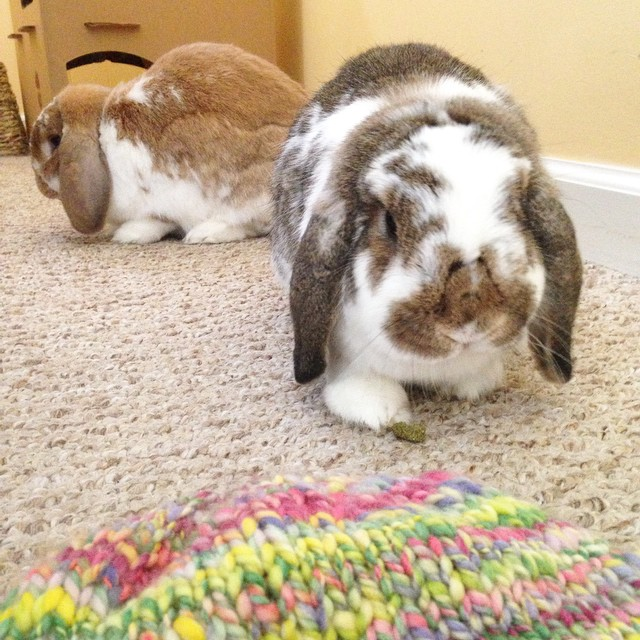 Two awesome things in one place. #bunnies and #knitting. #cute #bunniesofinstagram