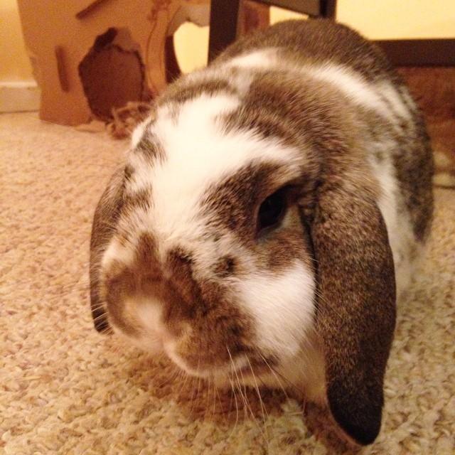Love you Carter. #bunny #bunniesofinstagram #cute