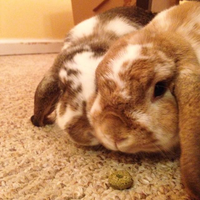 Buying their love with treats. #bunny #bunniesofinstagram #cute