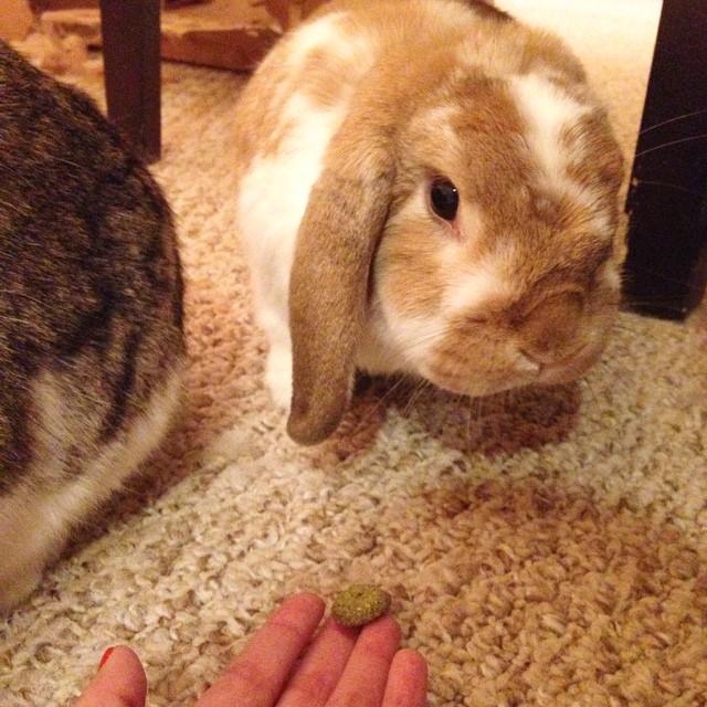 Please be my friend. #bunniesofinstagram #bunny #cute