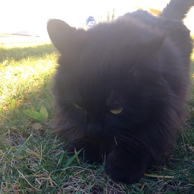 It's Precious. #otherpeoplespets #blackcat #catsofinstagram